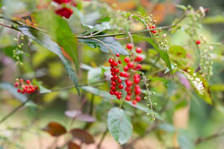 fruit and flower, Lipstick Bush, Pigeon Berry, Wild Tomato, Rouge Plant, Blood Berry (Rivina humilis L.)