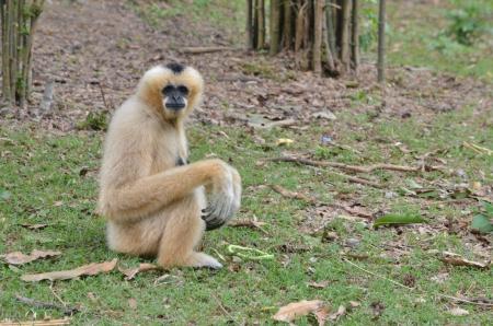 gibbon: brown Gibbon Stock Photo