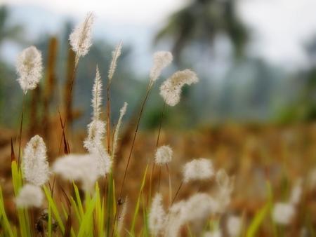 ance: canne in campo di riso