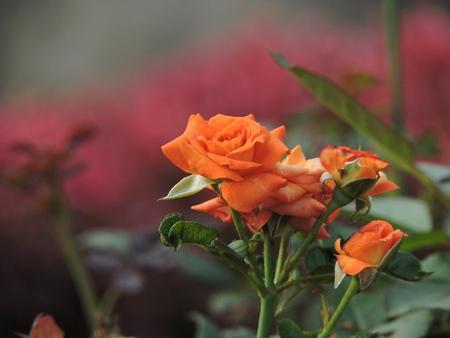 rosas naranjas: rosas en flor de naranja