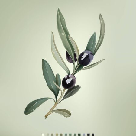 Vector illustration of black olives on white background. Natural olive cosmetics. Design for olive oil. Vector illustration