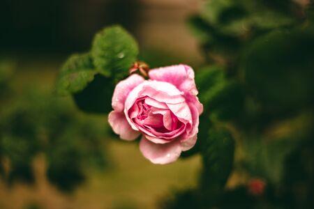 Beautiful rose in rainy weather. Nature background image. Pink rose bush. Pink Flowering Plants.