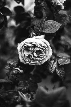 Beautiful rose in rainy weather. Nature background image. Pink rose bush. Pink Flowering Plants. Black and white photo of a rose Zdjęcie Seryjne