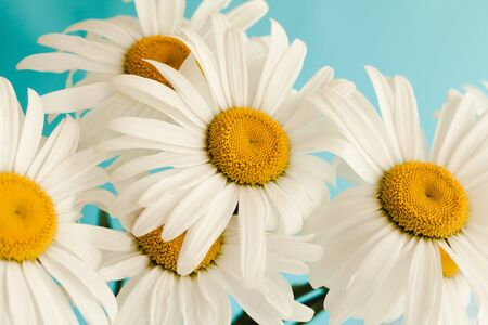 Bouquet of flowers camomiles on a blue background. Imagens