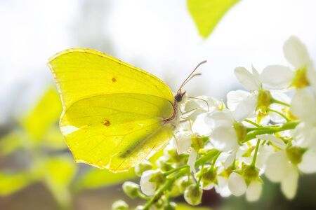 Blooming bird cherry close-up. A bright butterfly sits on flowers. Detailed macro photo. Beautiful white flowers. Great image for postcards. The concept of spring, summer, flowering. Zdjęcie Seryjne