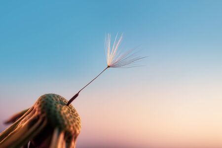 One dandelion seed on a flower against the sky at sunset. The concept of loneliness, single, metaphor alone with oneself. Copyspace. Detailed macro photo.