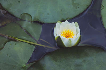 Close-up of a white water lily floating in the water. Summer nature concept.