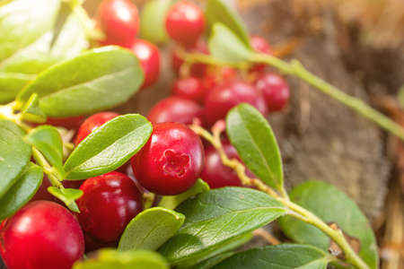 Ripe lingonberry growing in the forest close-up, macro photography. The concept of wild plants, healthy organic food, vitamins, gifts of the forest. Imagens