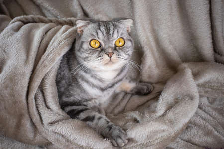 A gray Scottish fold cat with yellow eyes sits on a blanket and looks ahead with curiosity. Cute funny pet. 版權商用圖片