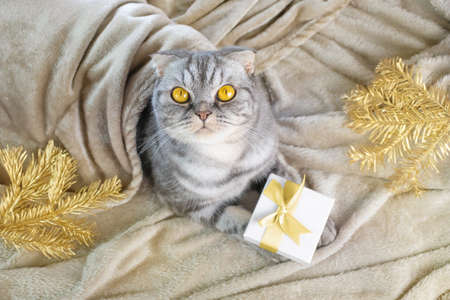 A gray Scottish fold cat with yellow eyes sits on a blanket with a Christmas present in its paws. Nearby are golden fir branches. Concept for new year, christmas, home cozy holiday, holiday with pets. 版權商用圖片