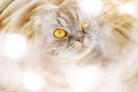 A gray Scottish fold cat with yellow eyes sits on a blanket with a Christmas present in its paws. Blurry lights frame. Concept for new year, christmas, home cozy holiday, holiday with pets.
