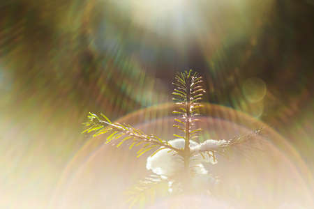 Small Christmas tree in the forest in winter close-up. The sun's rays shine brightly. A bright frosty day. Soft focus.