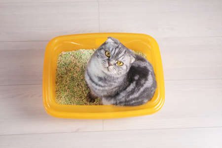 A gray striped Scottish Fold cat in an orange tray filled with tofu. Pet hygiene concept, cat litter.