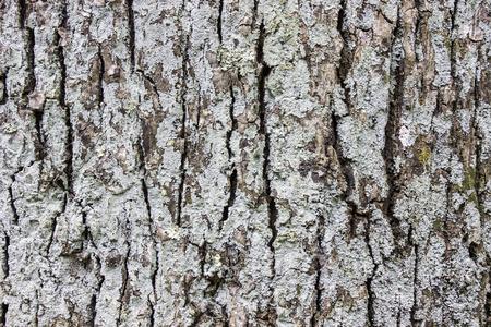 dirty old man: Tree bark texture