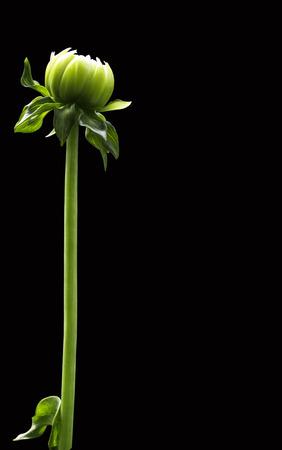 dahlia: dahlia Stock Photo