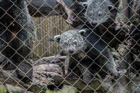 bearcat: bearcat in cage