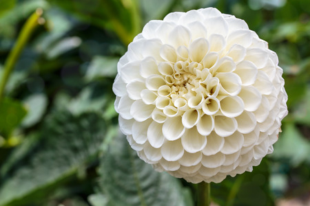globular: White globular dahlia in bloom in a garden