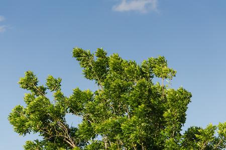 windswept: windswept tree with blue sky Stock Photo