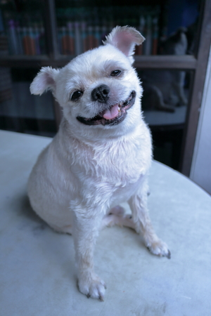 Close-up of a White dog smile and sitting on table so cute, pomeranian shih tzu mixed breed.