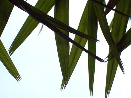 Bamboo leaves photo