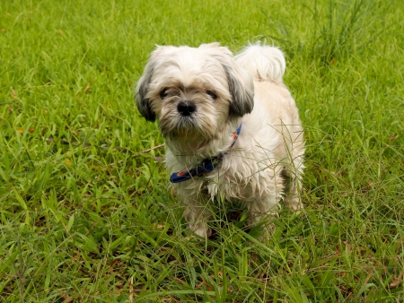 Shih Tzu walk in the park at dawn II photo