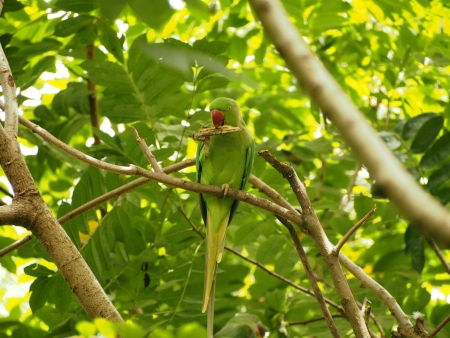 Alexandrine Parakeet  brid photo