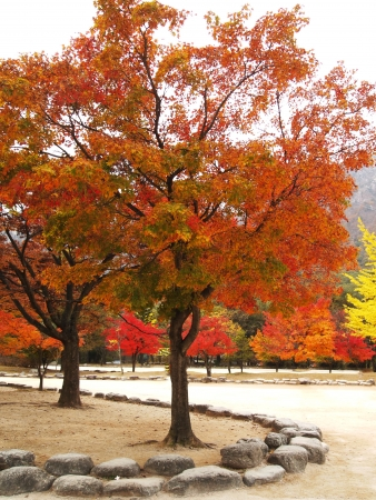 Red tree  in South Korea photo