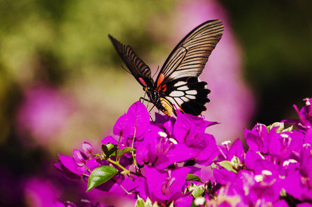 butterfly troides aeacus aeacus  Golden Birdwing foraging of pollen feeding blurred background. Imagens