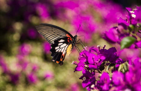 carpel: butterfly troides aeacus aeacus  Golden Birdwing foraging of carpel feeding on flower bokeh Blurred Background Stock Photo