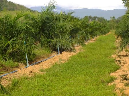 palm garden: Oil Palm garden