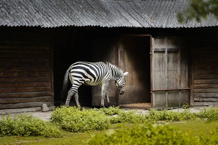 zebra on the background of the old house in zoo park comes into the aviary