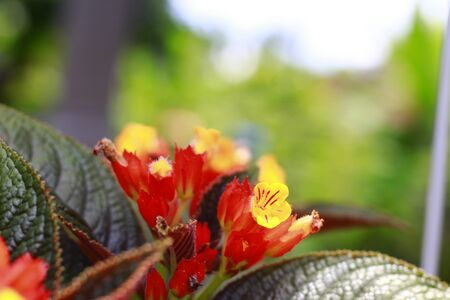 Sunset Bells, Black Flamingo, Chrysothemis, Copper Leaf. Sunset Bells is an interesting plant from the Caribbean. Yellow flowers with bright orange sepal cups form a colorful ground cover. Фото со стока
