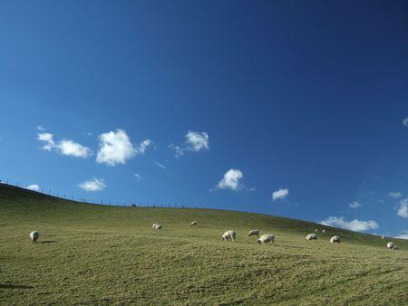 Wypas owiec Zdjęcie Seryjne