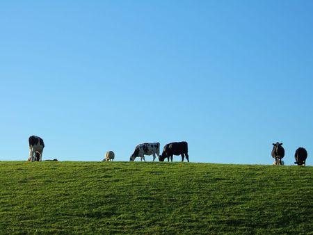 Friesian wypasu bydła w pobliżu wczesnym rankiem Kendal