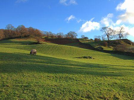 lake district: Grazing sheep near Ambleside, English Lake District