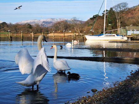 Swan displaying on Windermere Stock Photo