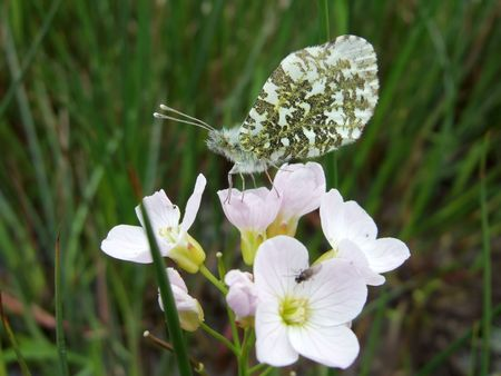 Orange tip butterfly on wild flower showing underside of wing photo