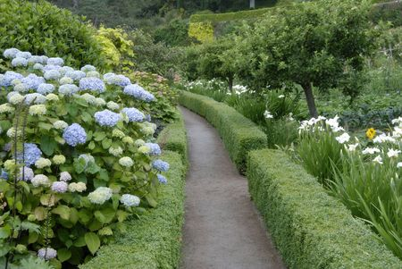 Hydrangeas at Inverewe Garden, Sutherland, NW Scotland 免版税图像 - 1351309