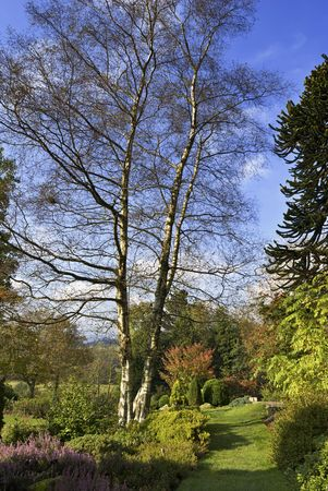 betula: A species of Birch (Betula) with a double trunk in a woodland glade setting