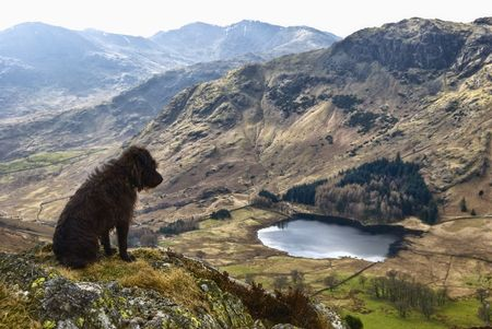 elevated view: Patterdale terrier sitting on a bluff overlooking Blea Tarn, in English Lake District National Park Stock Photo