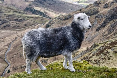 Close up of Herdwick sheep on mountainside, Lake District National Park, Cumbria, England.  Standard-Bild