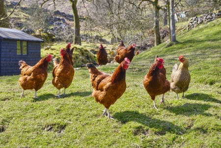 poultry animals: Group of chickens on a field of grass.