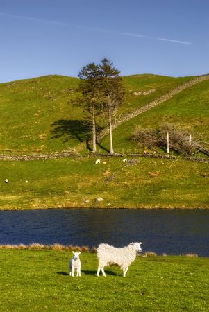 Sheep and lamb in countryside with lake in background, Lake District National Park, England. Stock Photo - 4974400