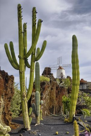 Tall cactus in a cactus garden with a windmill in the background in the Canary Islands.