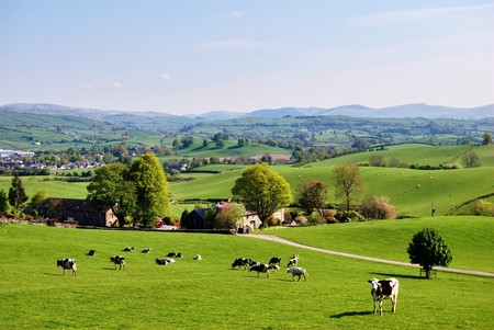 pastoral scenery: Grazing cattle on an English farm in Spring