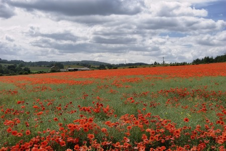 remembrance day poppy: A Poppy Field in Northumberland, Northern England