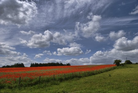A view of a field of Poppies adjacent to a meadow photo