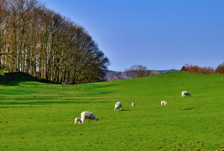 Sheep and lambs in a green field with trees and a dry stone wall. Near Windermere  in the English Lake District National Park