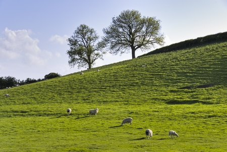 Grazing cattle on an English farm in Spring