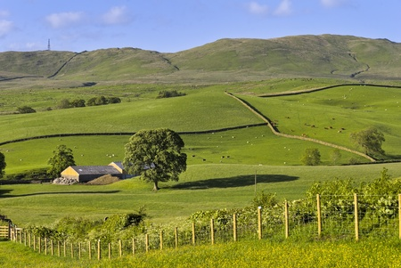 Typical English rural scene with rolling countryside and grazing animals with a curving fence & field of buttercups